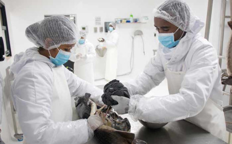 Workers from Rova Caviar Madagascar extract the caviar from a sturgeon, at the Acipenser factory in Mantasoa. Picture: AFP.