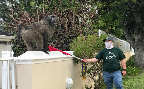 After activist pressure, Kataza the baboon to be reunited with Slangkop troop, Newsline