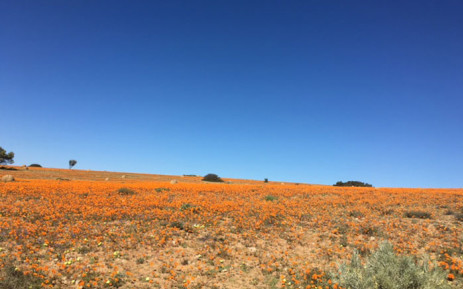 Flowers bloom in the Namaqua National Park. Picture: EWN