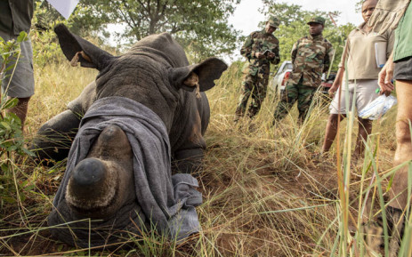 A sedated rhino has its GPS tags checked to make sure they match the DNA sample. Picture: Thomas Holder/EWN