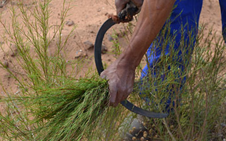A worker harvests rooibos from a plantation in the Cederberg district outside Clanwilliam. Picture: EWN