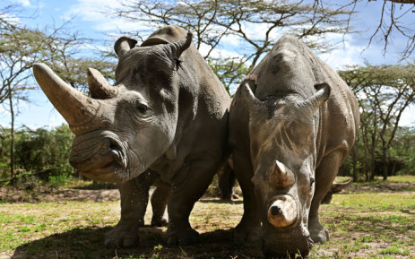 This file photo taken on 28 May 2019 shows the world's last female pair of Northern White Rhinoceros, Najin (L) with her daughter Fatu in their enclosure at Ol Pejeta Conservancy at Laikipia's county headquarters, Nanyuki. Specialists will meet in Geneva from 17 August 2019. Picture: AFP