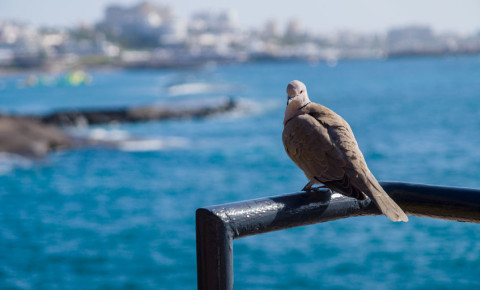 dove wild bird sitting on a railing water seaside town trravel photography 123rf