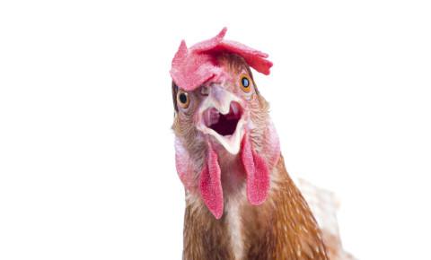 Chicken funny 123rf