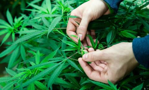 farmer-inspects-medical-cannabis-plants-marijuanajpg