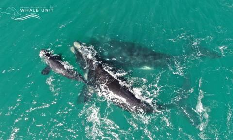 southern-whale-2jpg