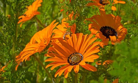 Orange daisy wildflower in South Africa West Coast 123rf