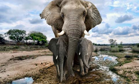 Elephant elephants African 123rf