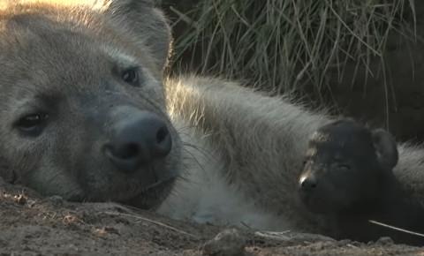 Hyena mom Ribbon and baby WIldEarth video screengrab