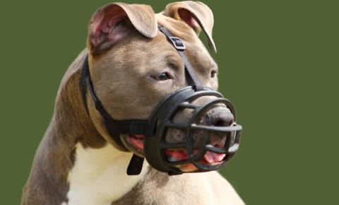 Staffordshire terrier dog muzzle 123rf