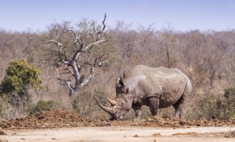 southern-white-rhino-rhinoceros-in-Kruger-National-park-poaching-poachers-123rf
