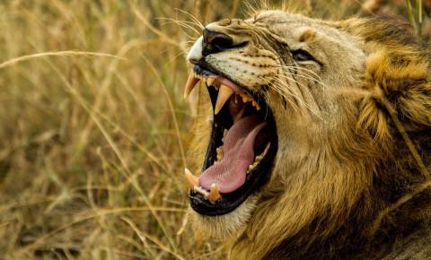 Lion pixabay