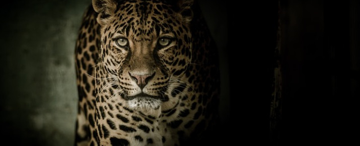 Several leopards have been trapped by snares in the region, some 175 kilometres (110 miles) east of Colombo. Picture: Pixabay