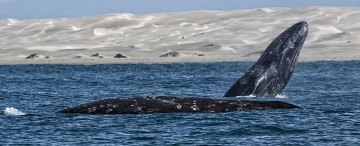 Grey whales. Picture: AFP