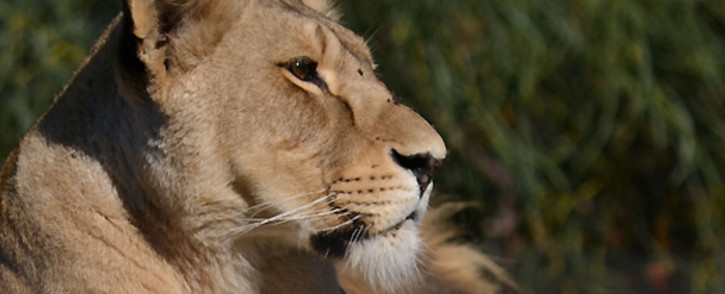 FILE: A lion at a Cape reserve. Picture: EWN