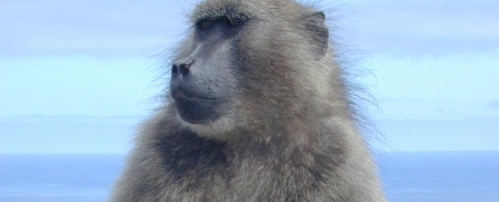 A chacma baboon. Picture: freeimages.com
