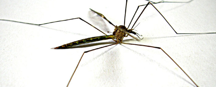 Mosquito. Picture: Freeimages.