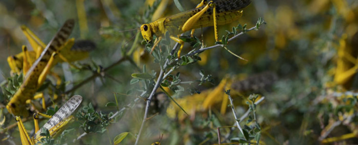 FILE: Gregarious locusts congregate on some ground vegetation at Larisoro village near Archers Post, on 21 January 2020. Picture: AFP