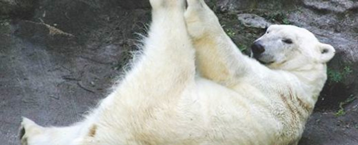 One of Johannesburg Zoo's polar bears. The zoo's female bear Geebee died at the age of 29 on 12 January 2014. Picture: www.jhbzoo.org.za