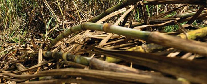 A sugar cane field. Picture: Pixabay.com