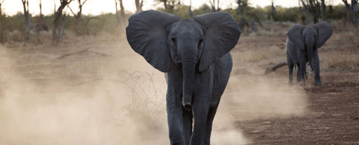 FILE: Young elephants pictured walking around the Venetia Limpopo Nature Reserve. Picture: debeersgroup.com
