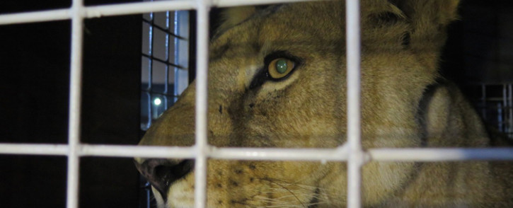 FILE: Thirty-three abused rescued lions arrived at OR Tambo airport on 30 April 2016, from where they were transported to their new home in natural enclosures at Emoya Big Cat Sanctuary in Limpopo. Picture: Louise McAuliffe.