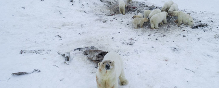 FILE: This handout photo taken on 3 December 2019 and released by the World Wildlife Fund - Russia (WWF-Russia) shows polar bears outside the village of Ryrkaypiy in the Chukotka region. Picture: AFP