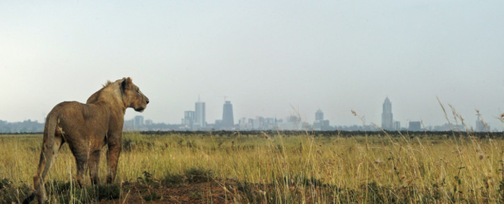 FILE: A young lion looks towards the Nairobi skyline at the Nairobi national park. Picture: AFP.