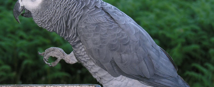 Grey African Parrot. Picture: Wikipedia.