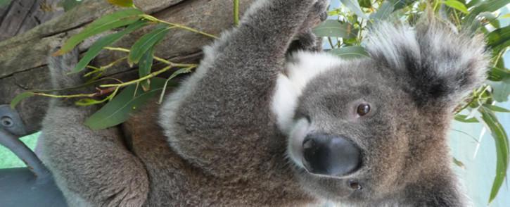 Dakar the koala, a young adult male who received a faecal transplant from wild koalas feeding on messmate. Picture: Michaela Blyton