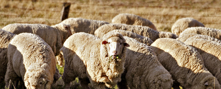 Sheep grazing. Picture: Wikimedia Commons.