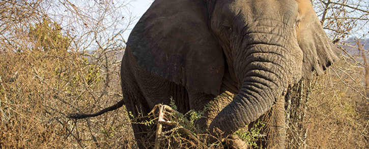 """Mutware, meaning """"Chief"""", a large bull elephant. Picture: Thomas Holder/EWN."""