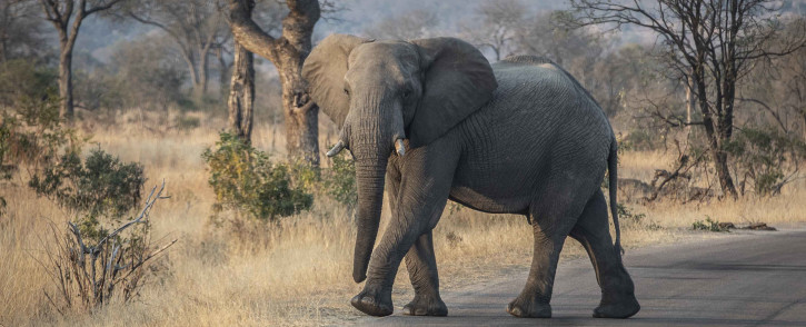 An elephant crosses the road in Kruger National Park. Picture: Abigail Javier/EWN.