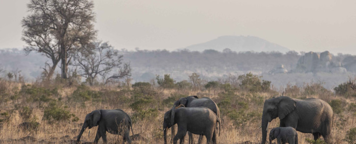 A herd of elephants in the Kruger National Park. Picture: Abigail Javier/Eyewitness News