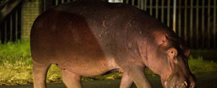 The Gauteng Agriculture Department has urged Fourways residents to report the whereabouts of the hippo roaming the area. Picture: @crimeairnetwork/Twitter