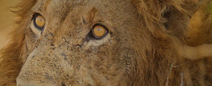 FILE: A lion at the Karoo National Park. Picture: Facebook.