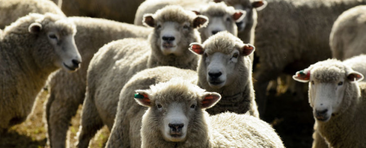 Between July and September, 26,322 sheep were stolen countrywide. Picture: 123rf