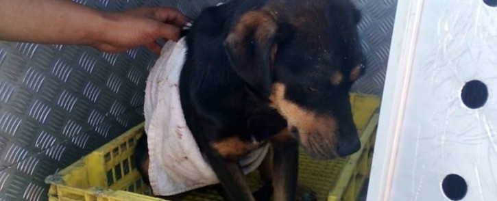 Skyler the dog is taken to the SPCA after allegedly being shot by police during a raid in Bonteheuwel. Picture: Supplied