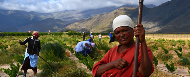 FILE: Farmworkers on a Western Cape grape farm. Picture: Aletta Gardner/EWN.
