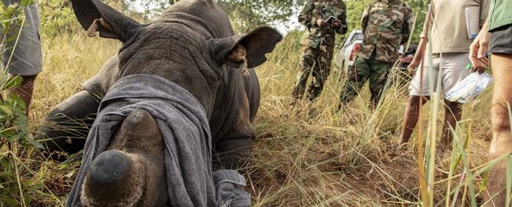 FILE: A sedated rhino has its GPS tags checked to make sure they match its DNA sample. Picture: Eyewitness News.