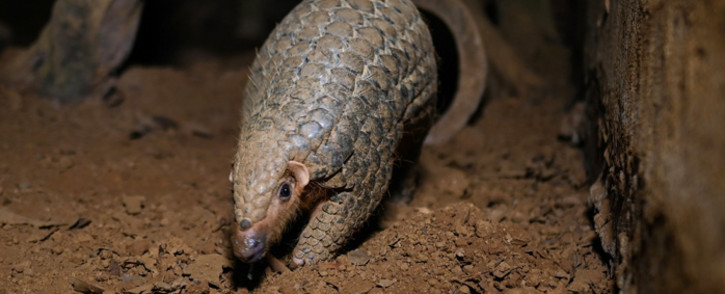 This photograph taken on 14 September 2020 shows a pangolin emerging from an underground tunnel at night at Save Vietnam's Wildlife, a group that runs a pangolin conservation programme inside the Cuc Phuong National Park in northern province of Ninh Binh. Picture: AFP