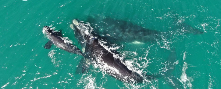An aerial view of southern right whales. Picture: University of Pretoria Mammal Research Institute Whale Unit