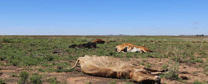 Carcas of cattle lost in the drought lie in a field in the Free State.  Picture: Christa Eybers/EWN.