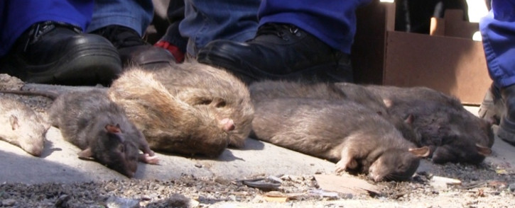 File: Cape Town authorities are appealing to the public to take measures to avoid attracting rats. Picture: Reinart Toerien/EWN.