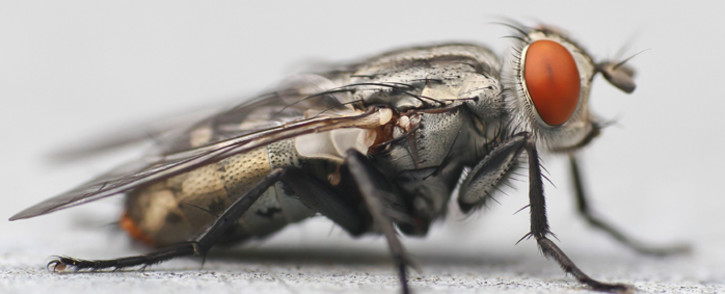 Fly macro. Picture: Free images.