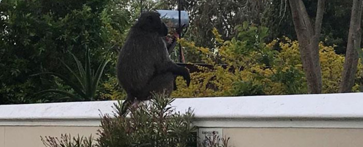 Kataza the baboon sits on the wall of a Tokai home. Picture: Lizell Persens/EWN