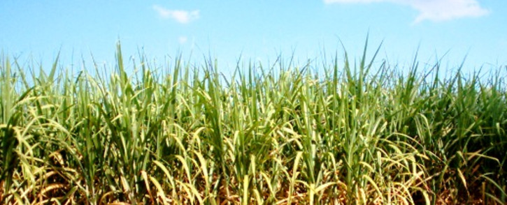 Close to 5,000 workers in the sugar industry are expected to report for work tomorrow. Picture: Stock.XCHNG