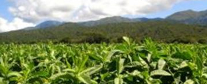Tobacco Plantation. Picture: stock.xchng