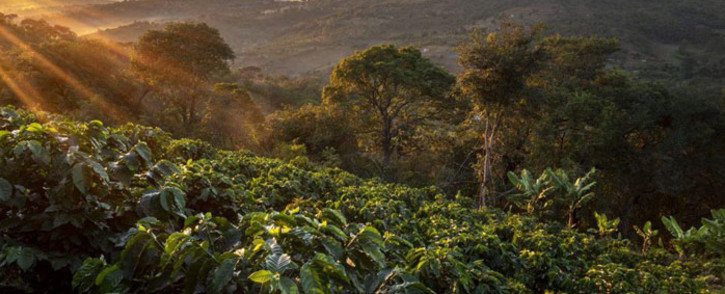 Coffee plantation in eastern Zimbabwe. Picture: Supplied.