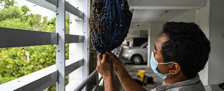 This picture taken on April 23, 2021 shows Ooi Leng Chye from the MY Bee Savior Association transferring bees to rescue them in the parking lot of an apartment building in Kuala Lumpur. MY Bee Savior Association is a group that saves bees and their nests when they are discovered in cities, seeking to prevent the creatures from being destroyed by those who view them as pests. Picture: Mohd Rasfan / AFP.